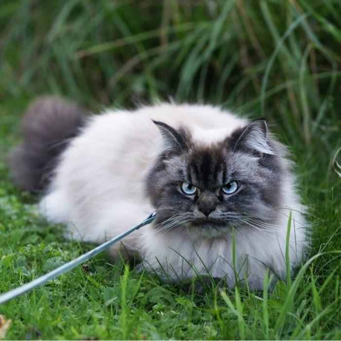 angry-cat-merlin-ragdoll-21-5a2f901554ceb__700