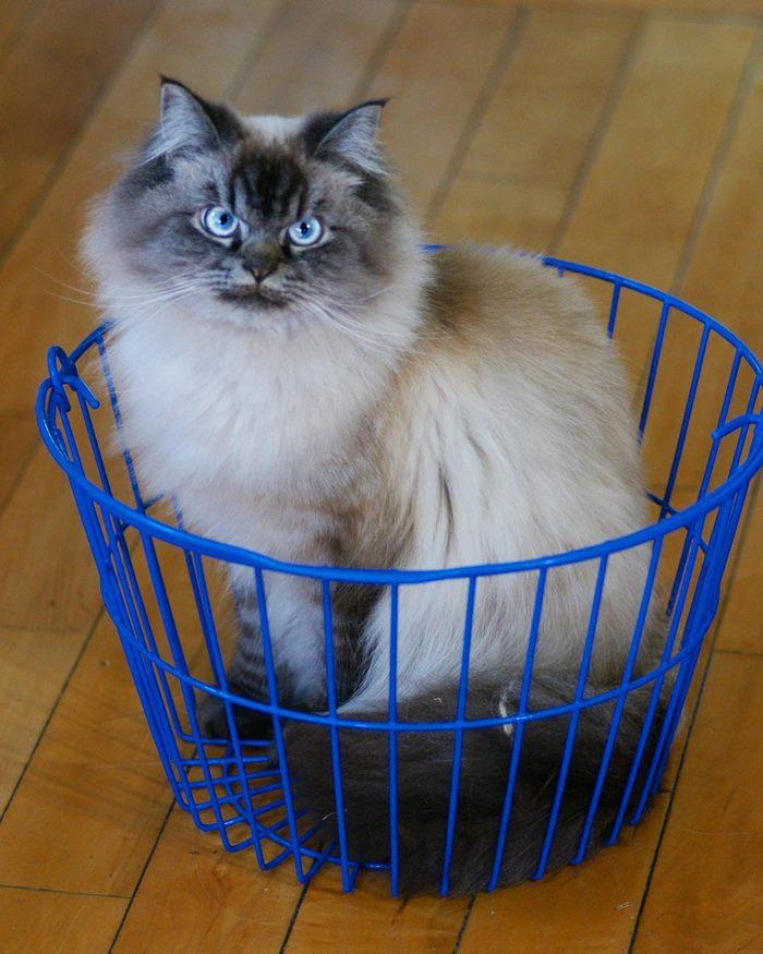 angry-cat-merlin-ragdoll-31-5a2f902b57068__700