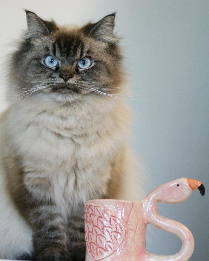 angry-cat-merlin-ragdoll-33-5a2f902f5bb80__700