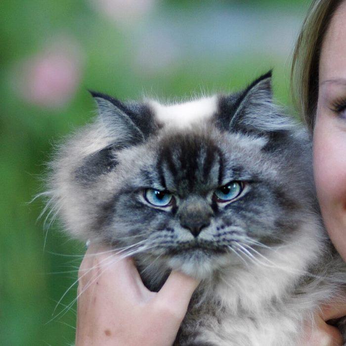 angry-cat-merlin-ragdoll-35-5a2f903345c5a__700