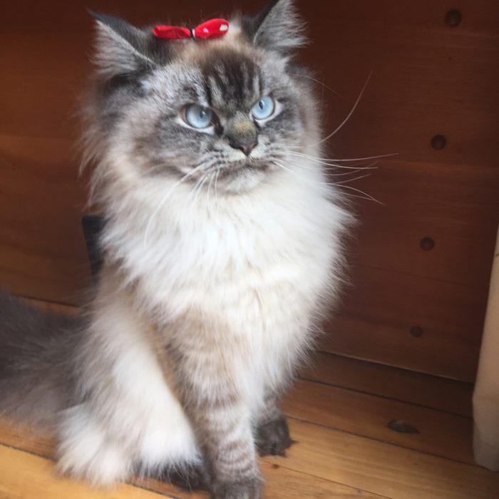 angry-cat-merlin-ragdoll-38-5a2f904244eb0__700
