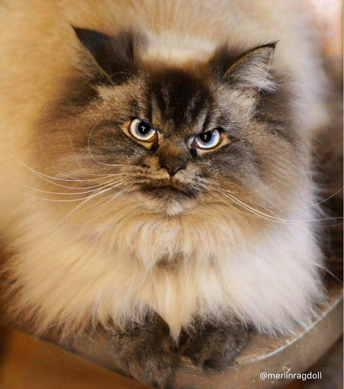 angry-cat-merlin-ragdoll-4-5a2f8fece1bc5__700