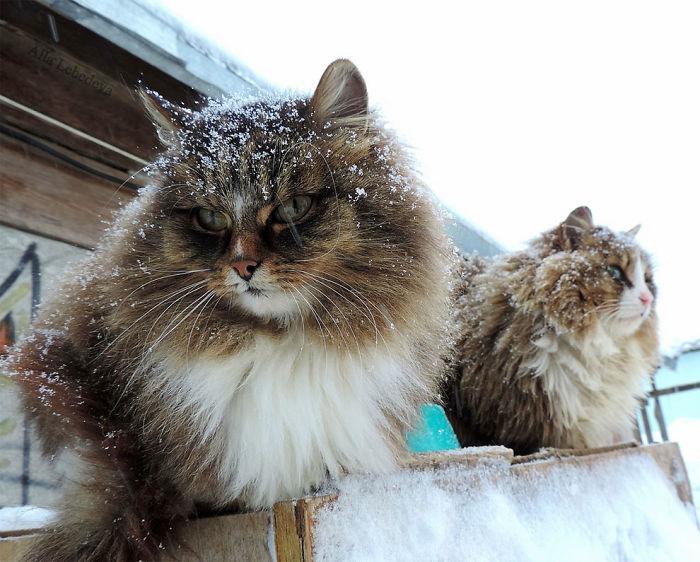 siberian-farm-cats-alla-lebedeva-10-5a3380d3e276a__700