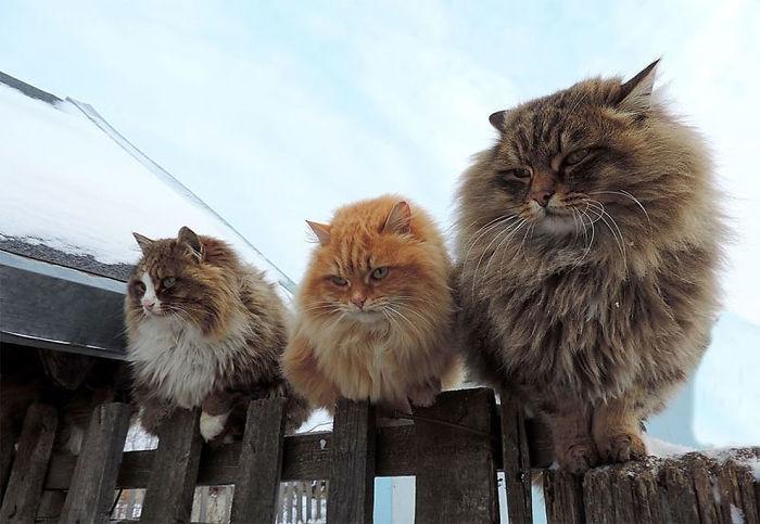 siberian-farm-cats-alla-lebedeva-16-5a3380e0d4591__700