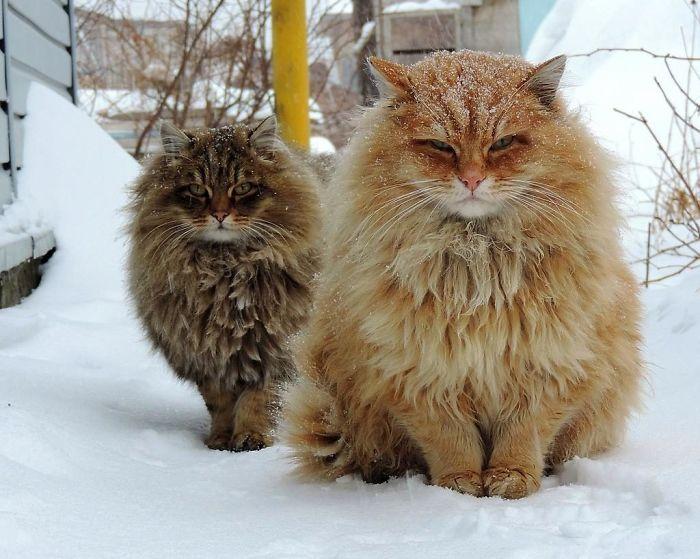 siberian-farm-cats-alla-lebedeva-31-5a338105d8556__700