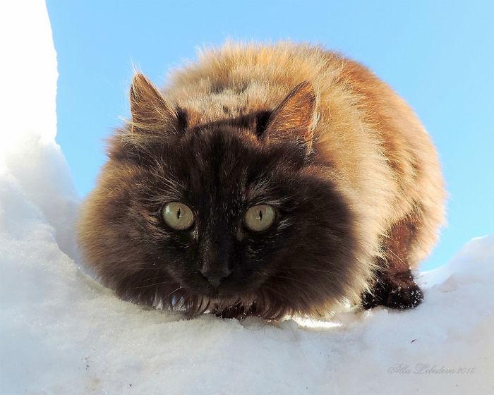 siberian-farm-cats-alla-lebedeva-35-5a33810eece59__700