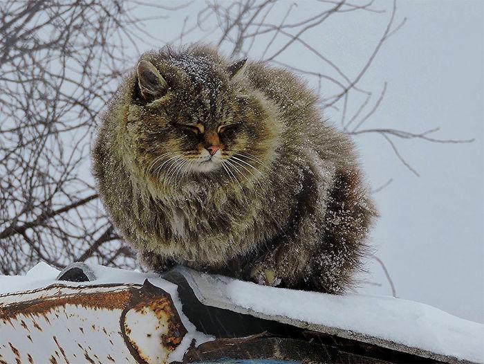 siberian-farm-cats-alla-lebedeva-4-5a3380c4f2a16__700