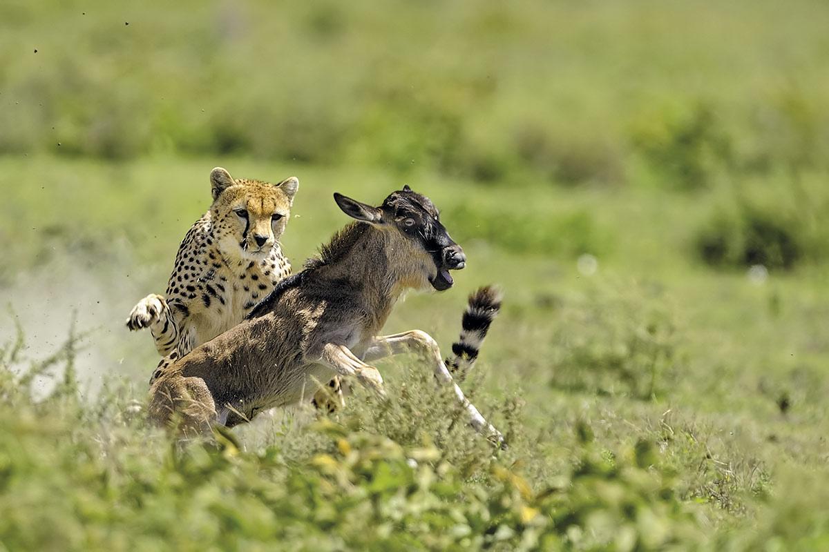 tanzania-guepardo_f7cb88bc