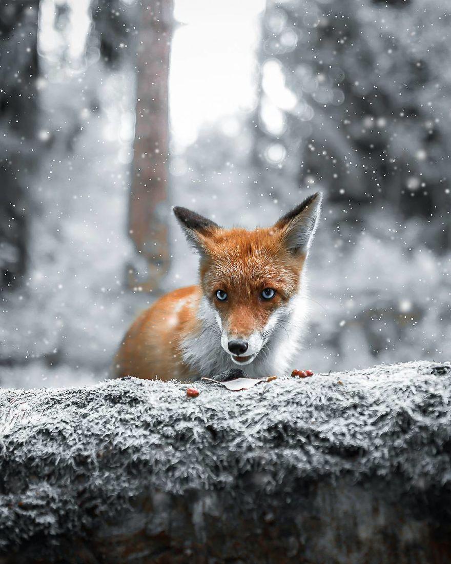 wildlands-animal-photography-joachim-munter-finland-10-5a43ad5ad073e__880