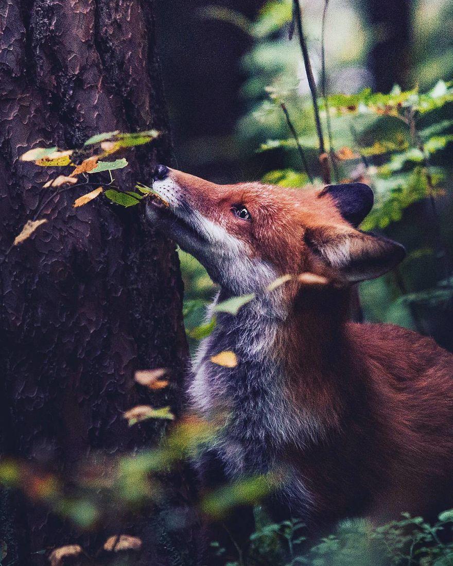 wildlands-animal-photography-joachim-munter-finland-38-5a43ada70eea6__880