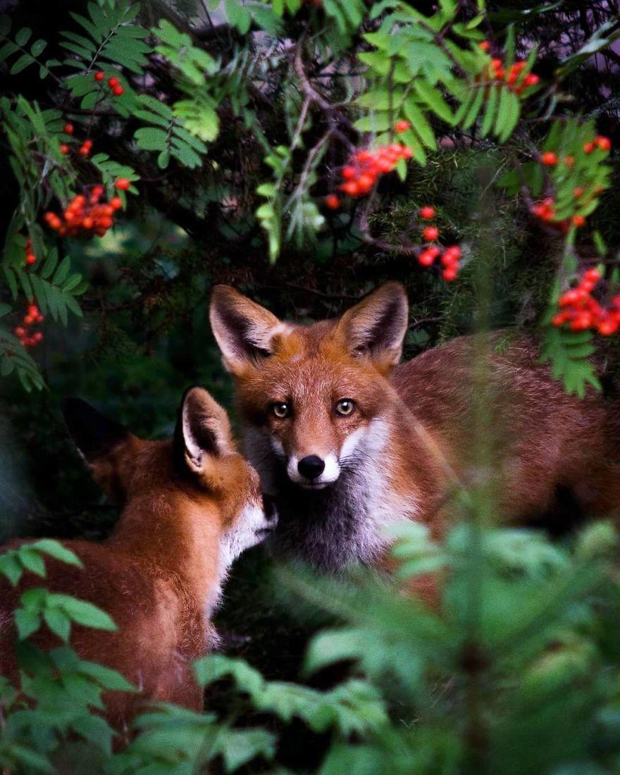 wildlands-animal-photography-joachim-munter-finland-50-5a43adc30086c__880