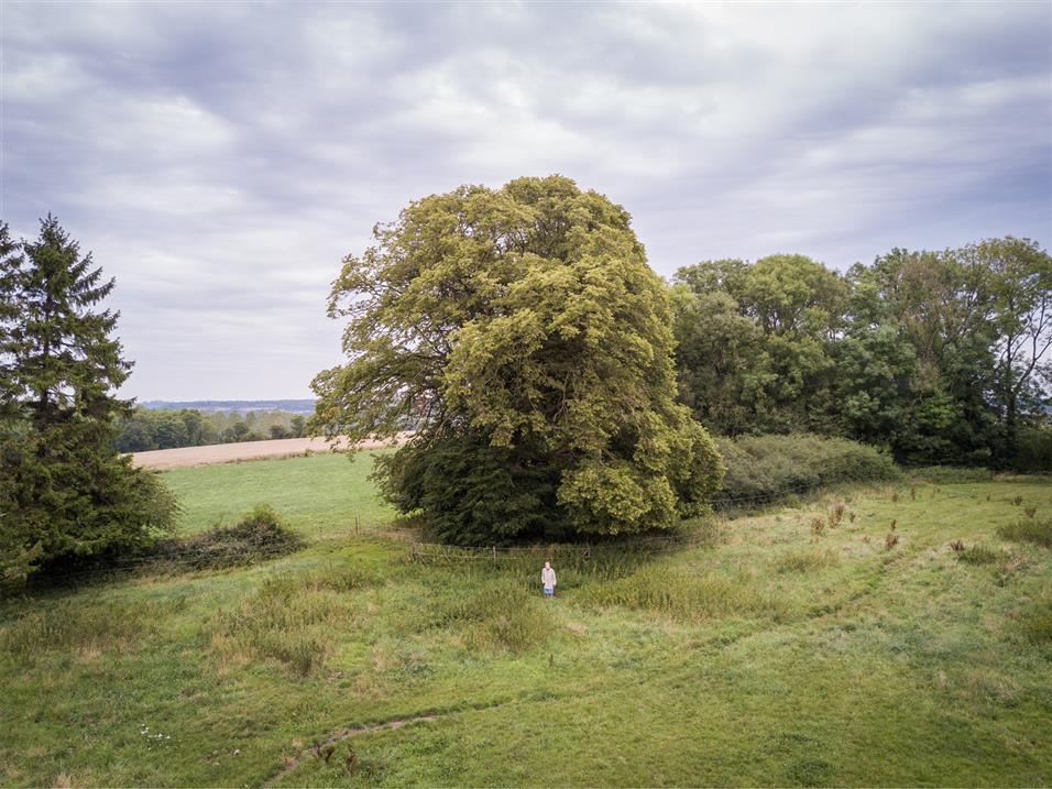 Árbol Europeo 1