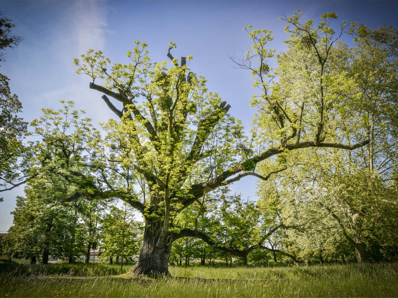 Árbol Europeo 2
