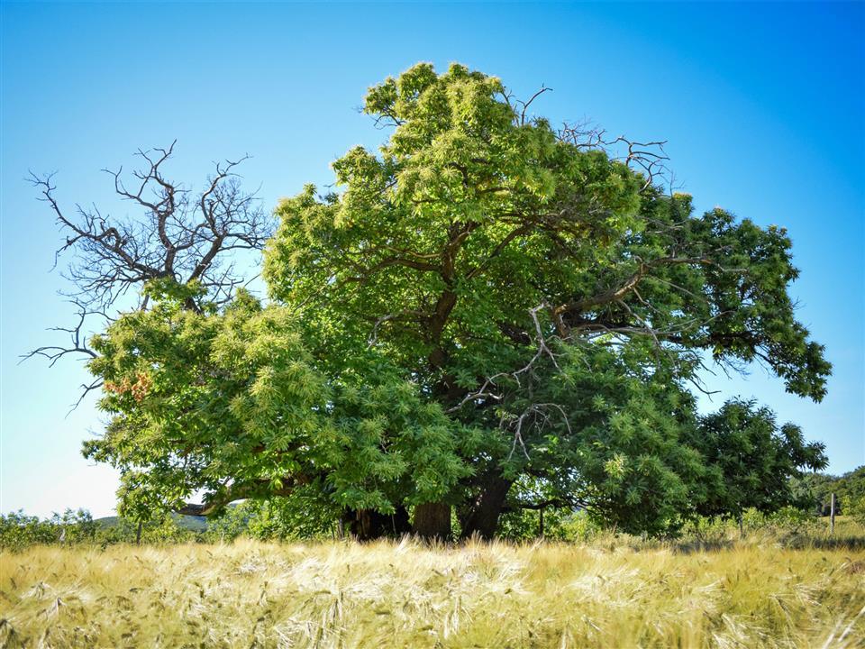 Árbol Europeo 3