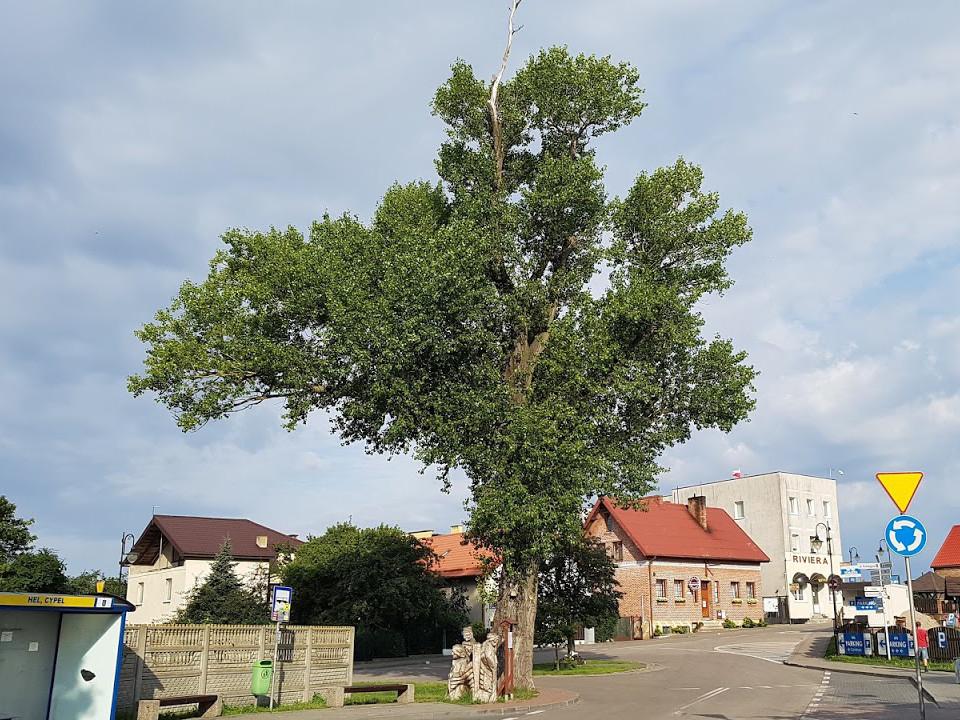 Árbol Europeo 6