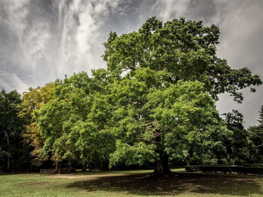 Árbol Europeo 7
