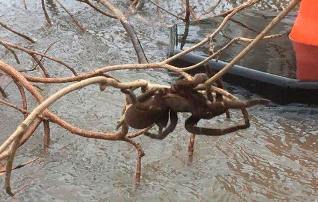araña gigante - tarantula - australia
