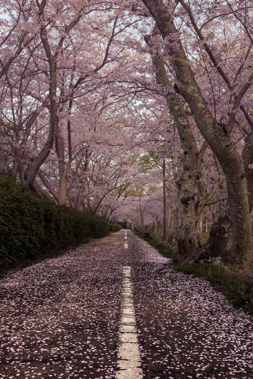 I-Captured-Sakura-Bloom-In-Japan-5abb3ce9506ea__880