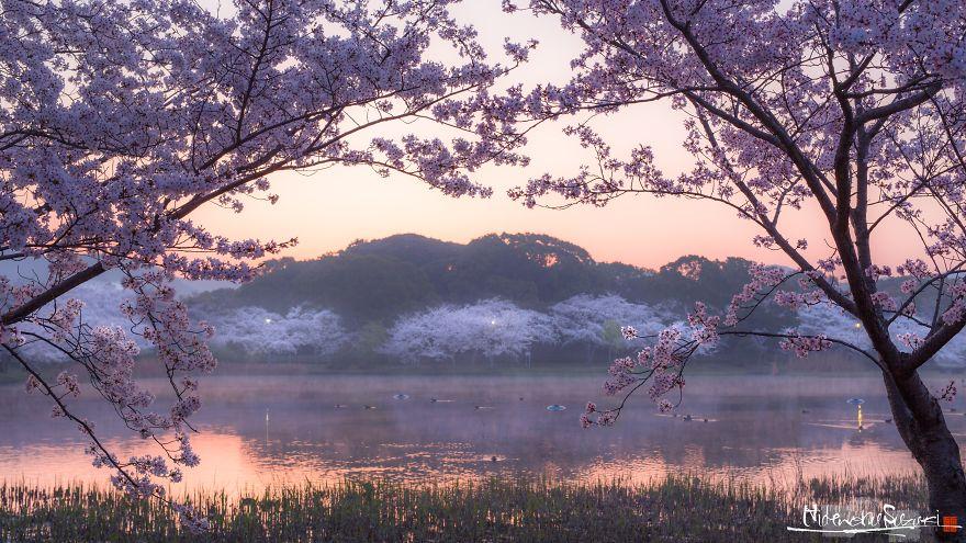 I-Captured-Sakura-Bloom-In-Japan-5abc1afaa6d90__880