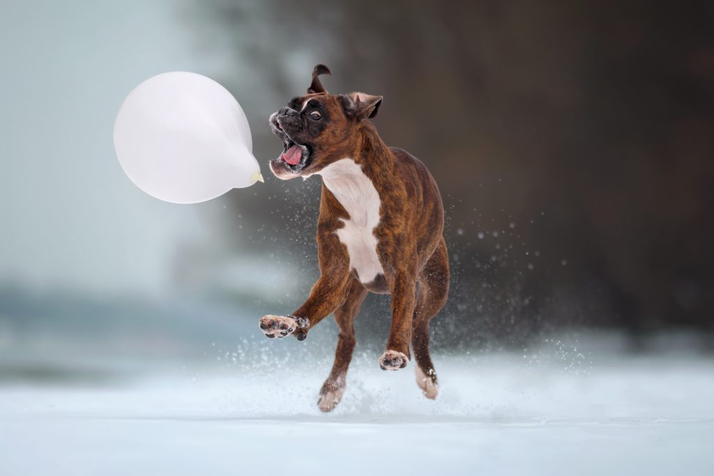 1_CATERS_FUNNY_FACE_BOXER_DOG_02-1024x683