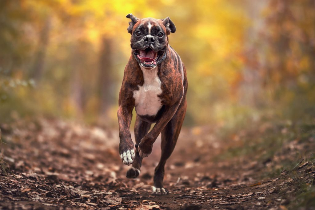 4_CATERS_FUNNY_FACE_BOXER_DOG_05-1024x683