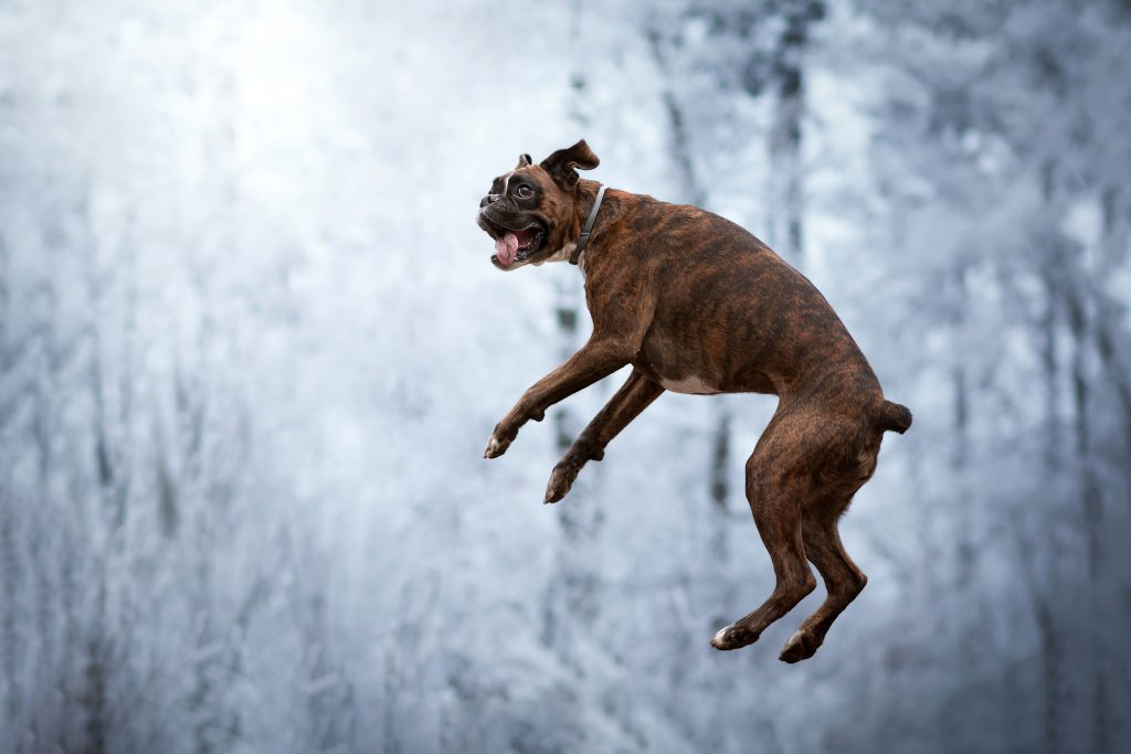 5_CATERS_FUNNY_FACE_BOXER_DOG_06-1024x683