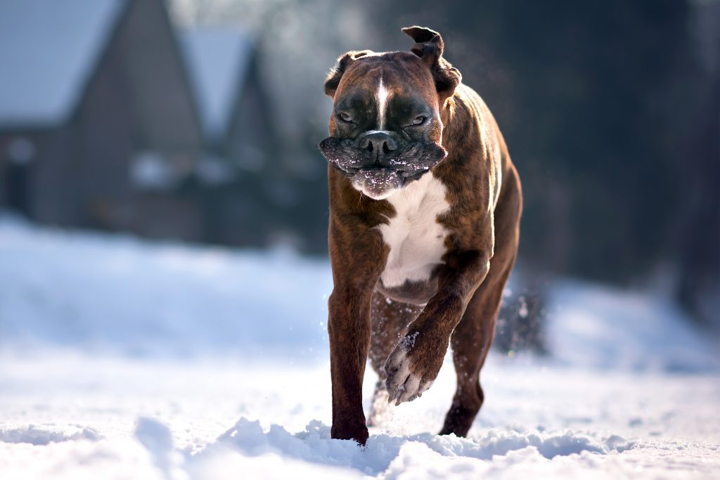 8_CATERS_FUNNY_FACE_BOXER_DOG_10-1024x683
