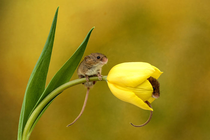 cute-harvest-mice-in-tulips-miles-herbert-1-5ad097c50fd1a__700