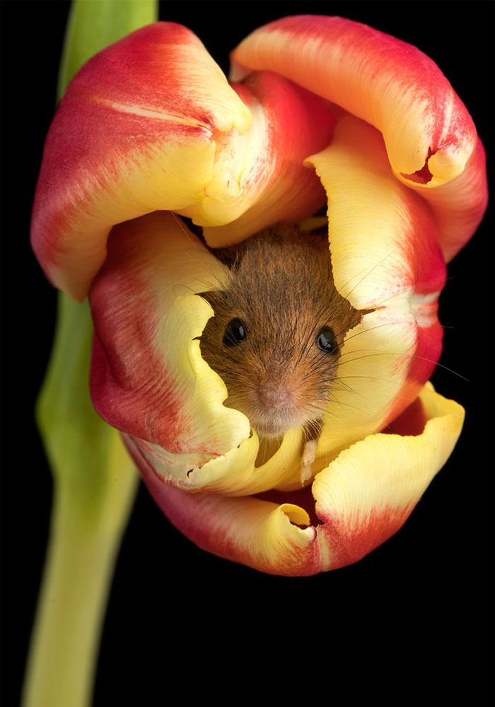 cute-harvest-mice-in-tulips-miles-herbert-16-5ad097a3c282c__700