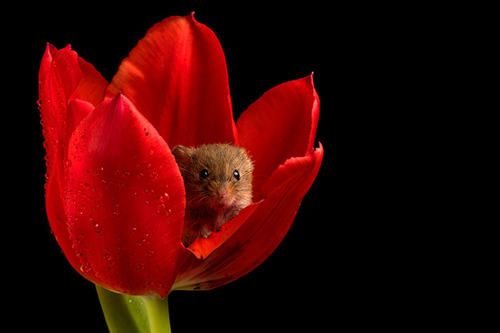 cute-harvest-mice-in-tulips-miles-herbert-18-5ad0978b2d13d__700