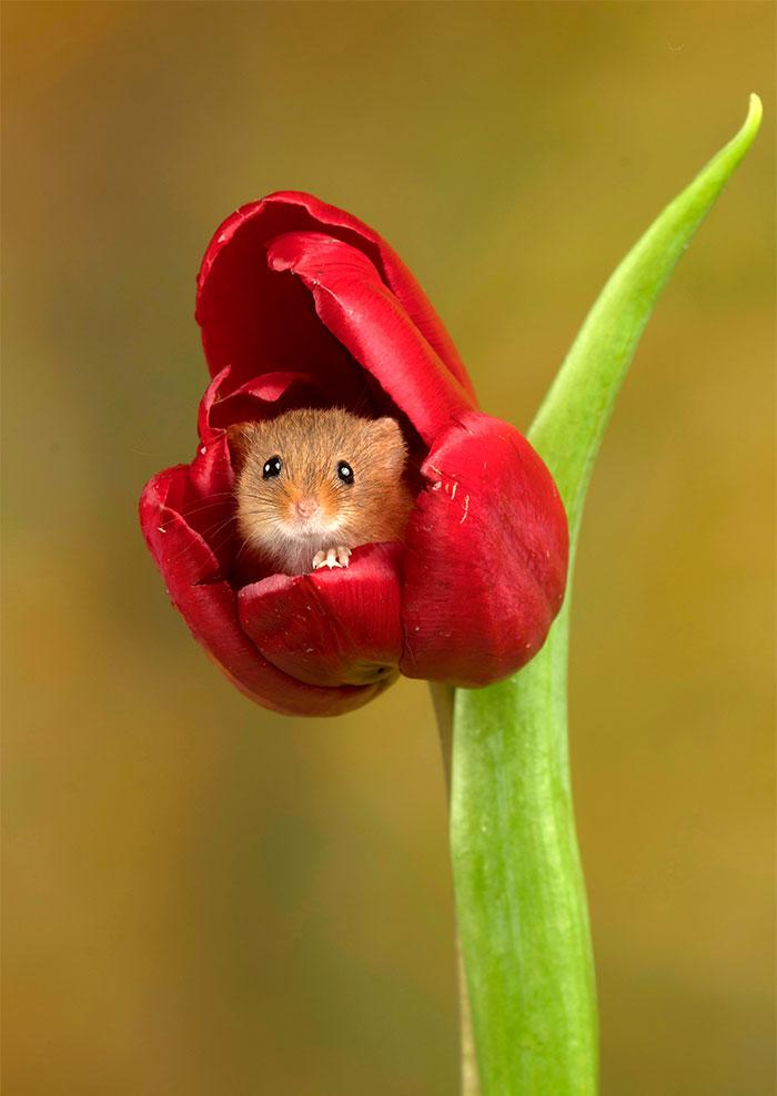 cute-harvest-mice-in-tulips-miles-herbert-20-5ad09794d64b0__700