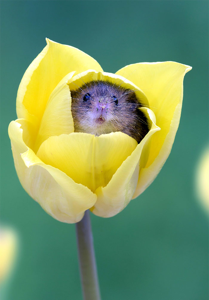 cute-harvest-mice-in-tulips-miles-herbert-4-5ad0977cdbf5f__700