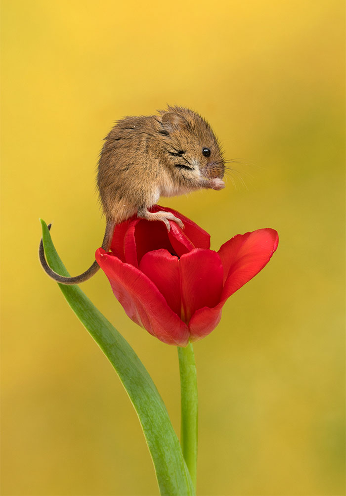 cute-harvest-mice-in-tulips-miles-herbert-5-5ad097d05a16c__700