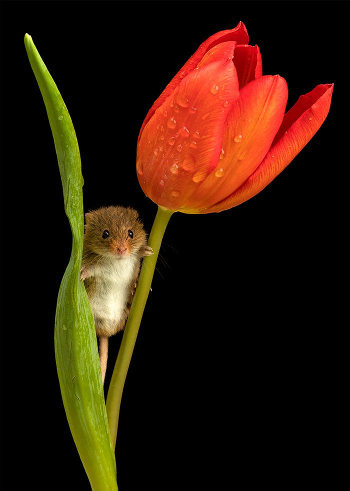 cute-harvest-mice-in-tulips-miles-herbert-7-5ad097d3546a9__700