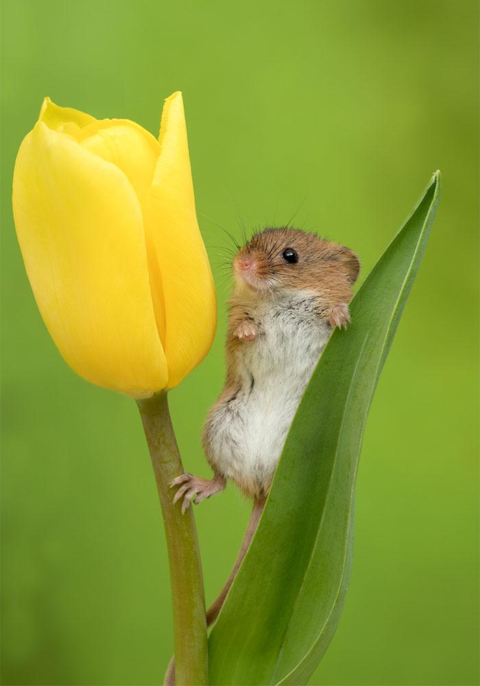 cute-harvest-mice-in-tulips-miles-herbert-9-5ad097d61b178__700