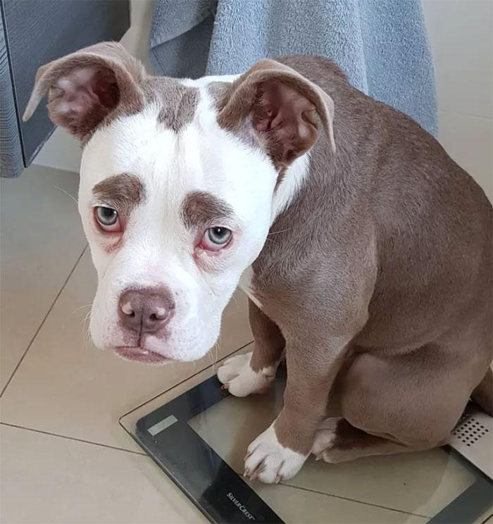 sad-dog-madame-eyebrows-english-bulldog-5ac4c1fd8e9ea__700