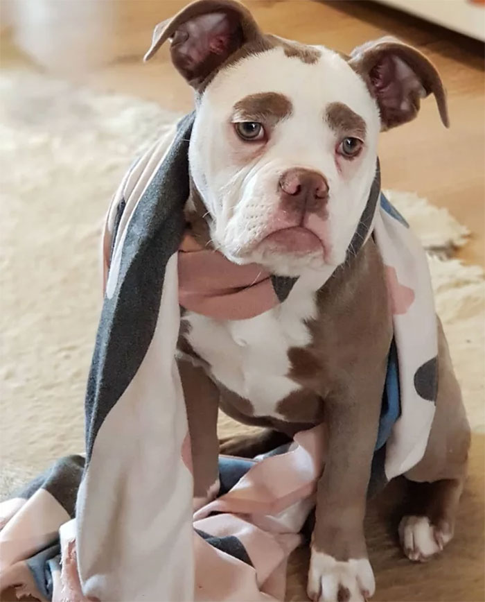 sad-dog-madame-eyebrows-english-bulldog-5ac4c21feea04__700
