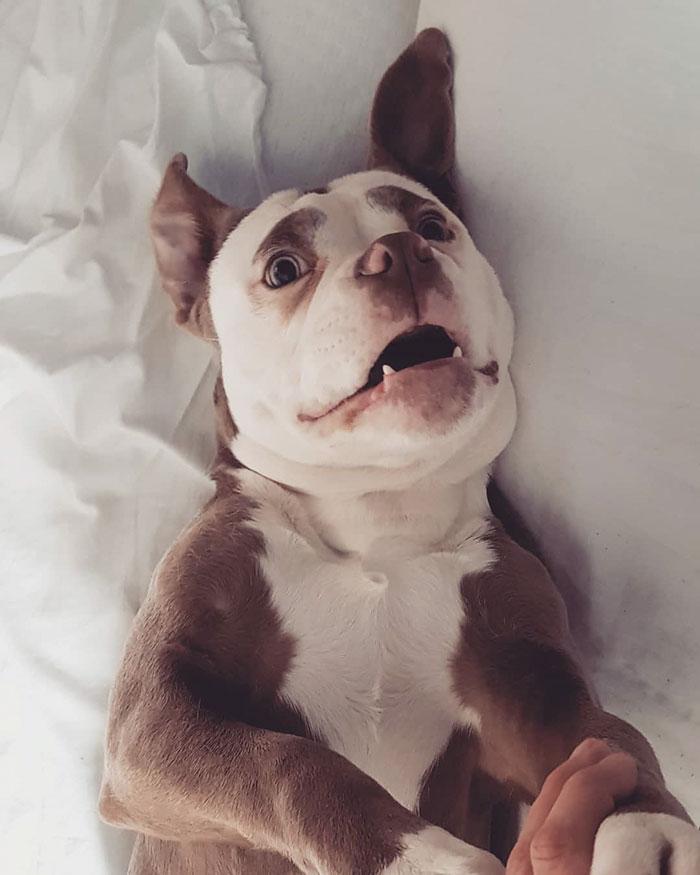 sad-dog-madame-eyebrows-english-bulldog-5ac4d57b73a1d__700