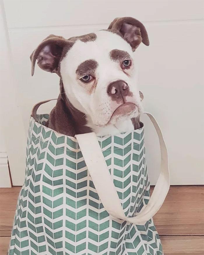 sad-dog-madame-eyebrows-english-bulldog-6-5ac47c5654ff8__700