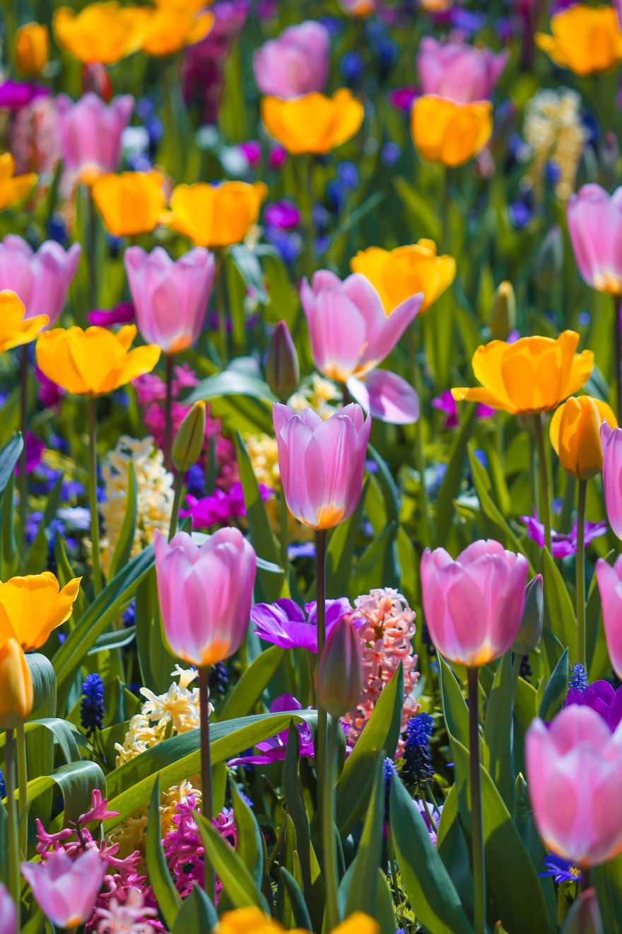 We-Photographed-The-Netherlands-Exploding-In-Colorful-Tulip-Fields-5ae59f8bb86f3__880