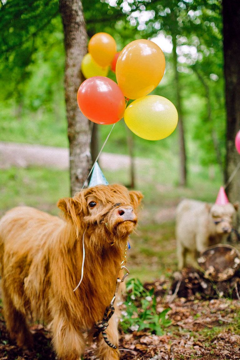 1_CATERS_COW_BIRTHDAY_02-768x1152