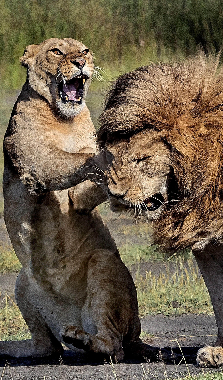 LIONESS SLAPS LION
