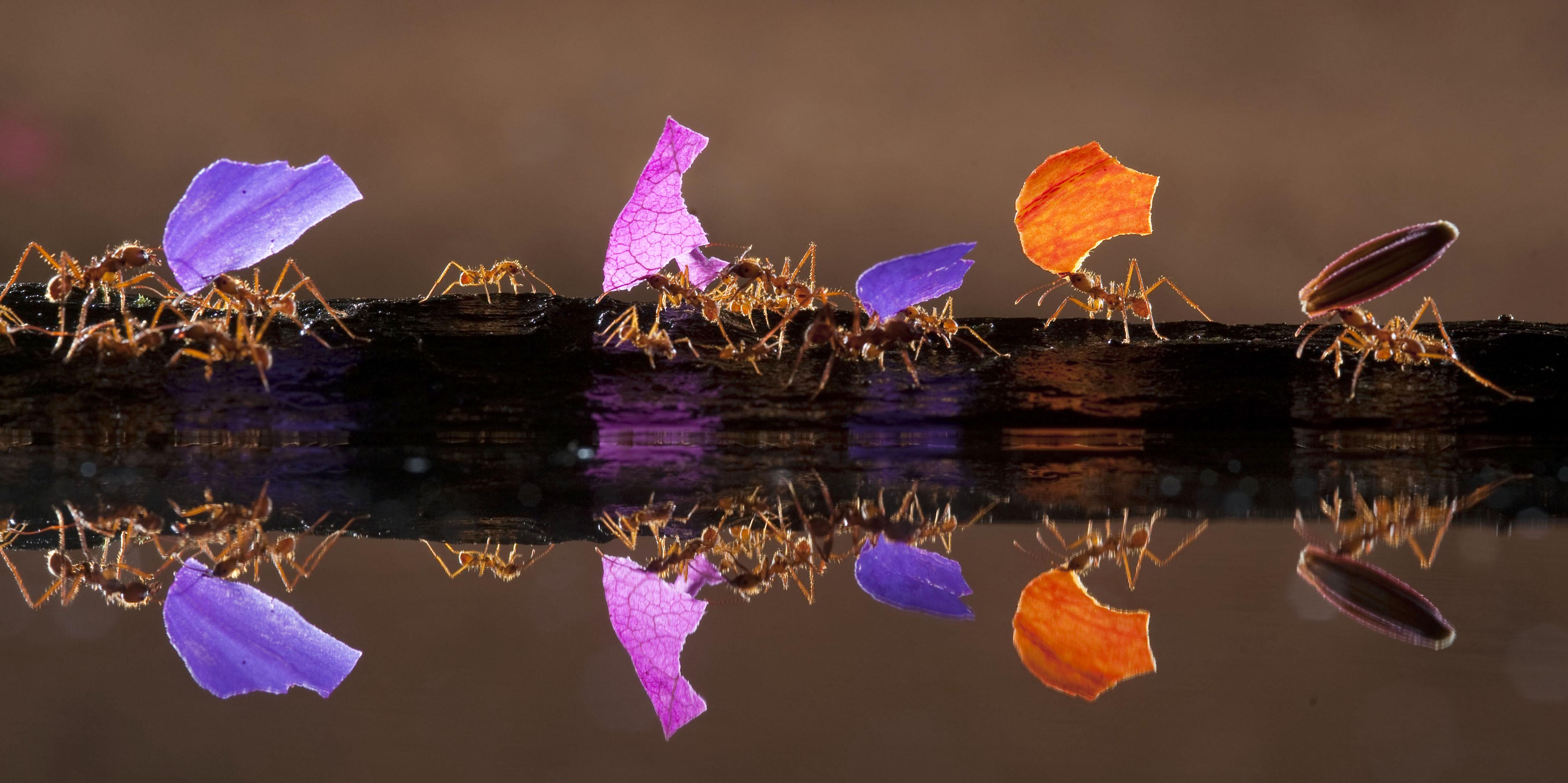 RAINBOW ANTS