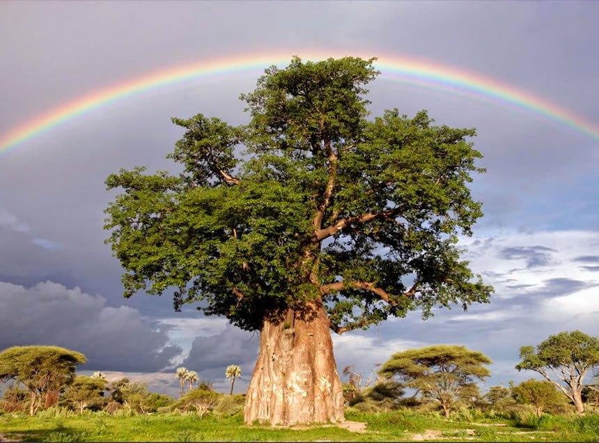 arbol-baboo