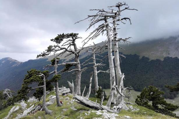 plus-vieil-arbre-europe