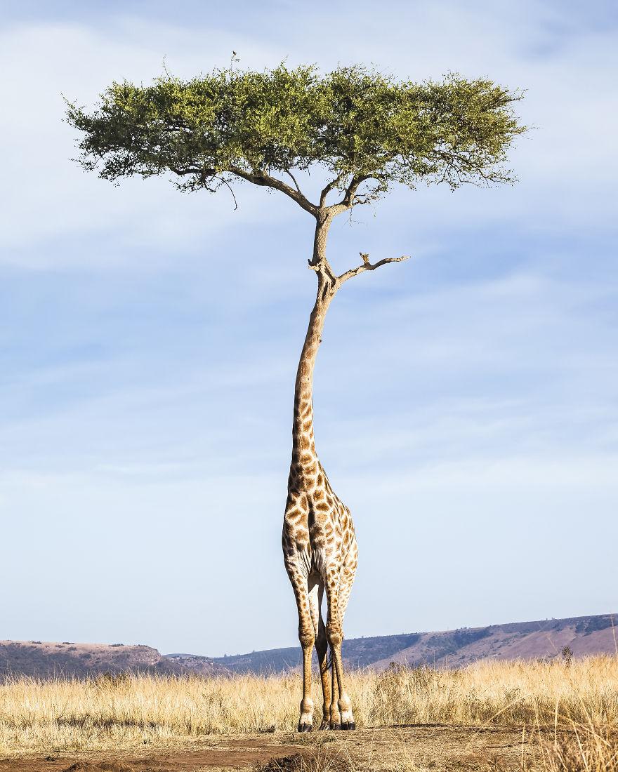 Tree-Giraffe-5b28c741df432__880